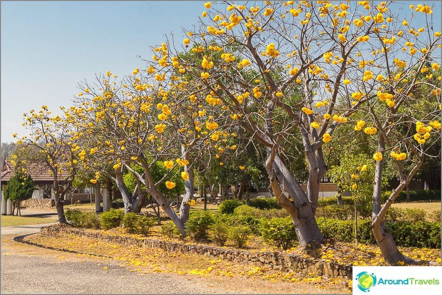 Laiturin lähellä kasvavat suuret keltaiset kukat.
