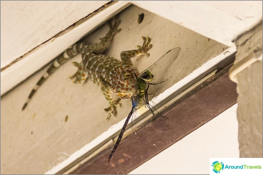 Gecko syö sudenkorento