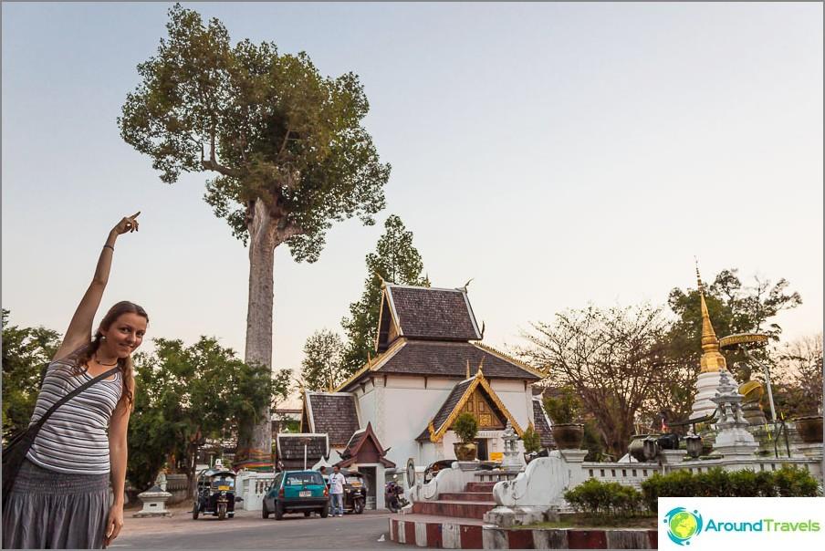 Korkea puu lähellä temppeliä