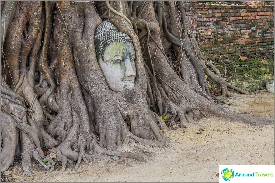 Kuuluisa buddhapää puun juurissa