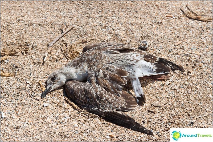 Kuollut lokki rannalla