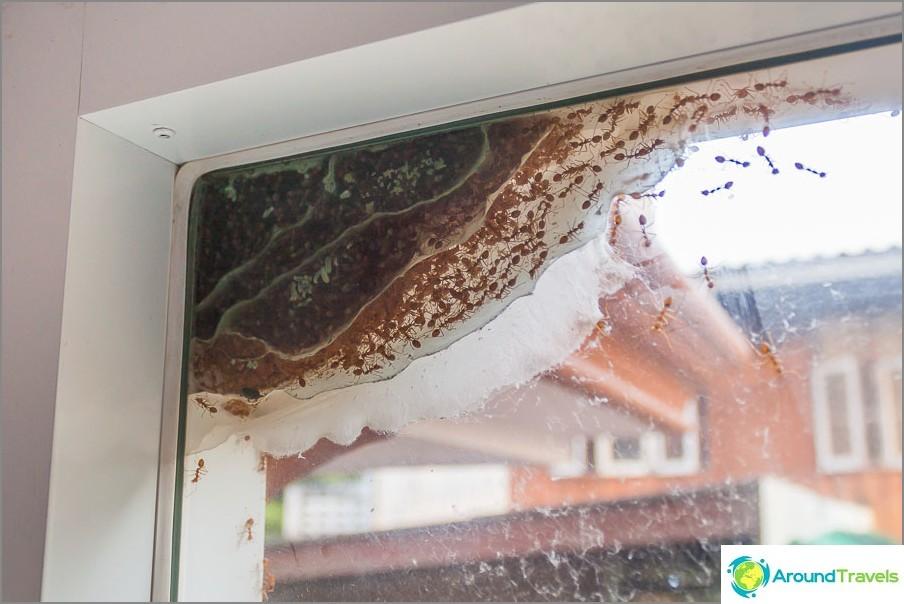Muurahaiskolikko asunnon ikkunan ulkopuolella