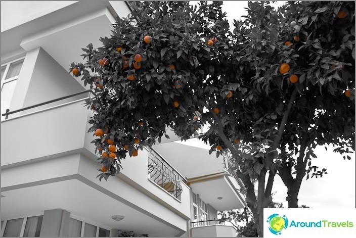 Kemer stad. Orange träd.