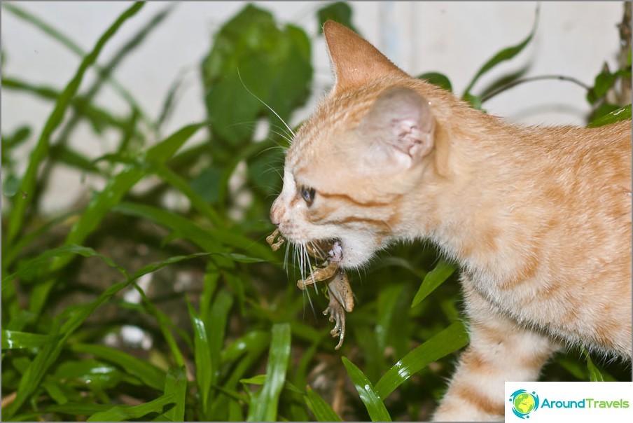 Котката ни яде жаба - французин!