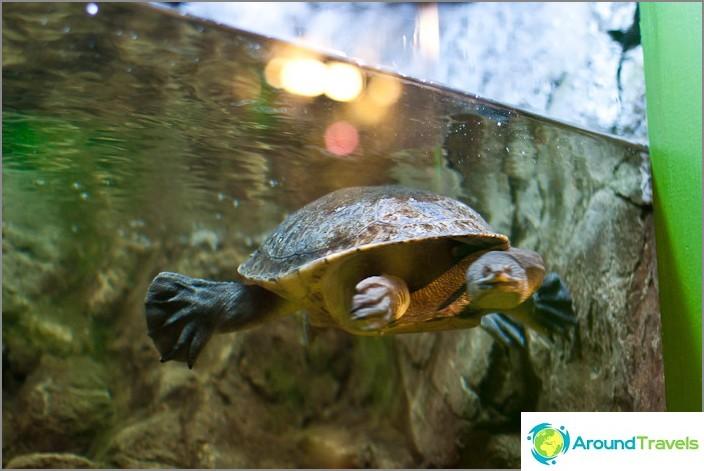 Pitkäkaulainen käärmemainen kilpikonna