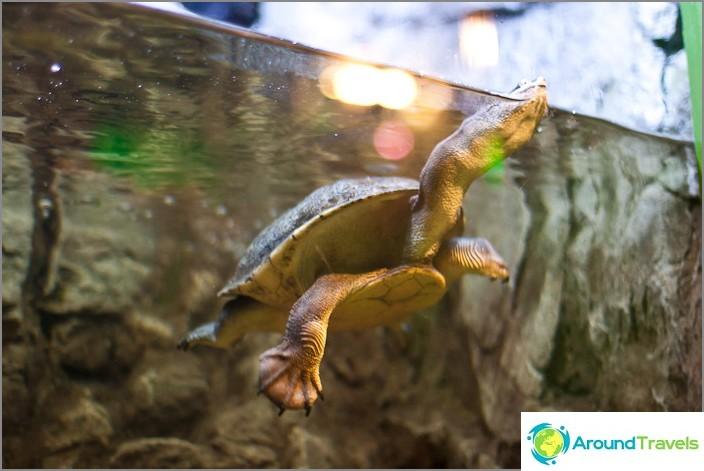 Pitkäkaulainen kilpikonna hänen ihmeellisessä tanssissa