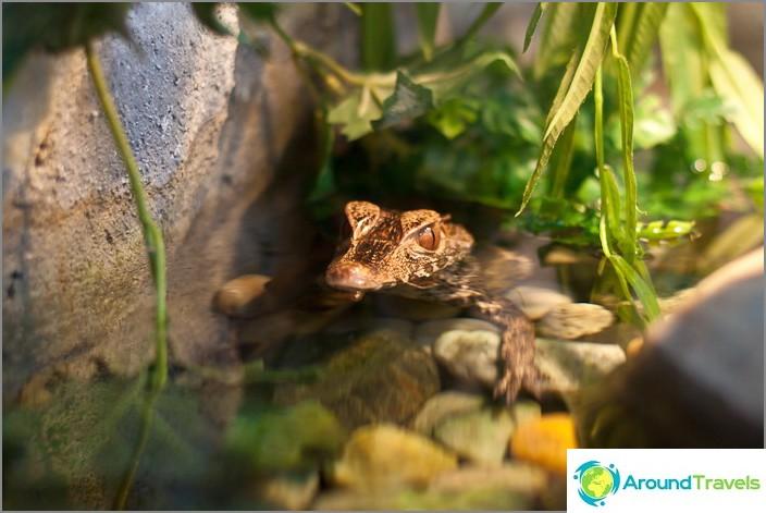 Yksi pienimmistä krokotiileista, kuten merkki lukee