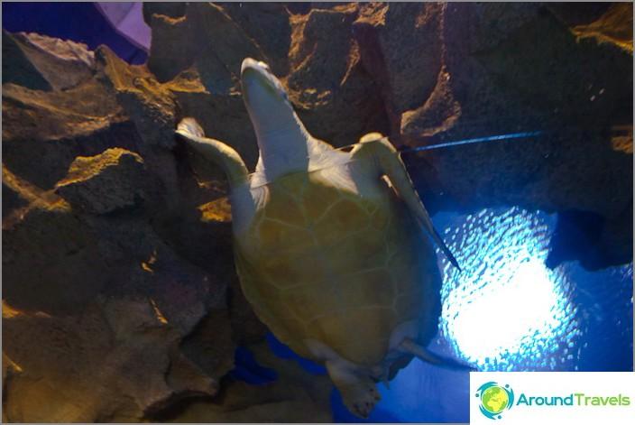 Jättiläinen kilpikonna Kuala Lumpurin akvaariossa